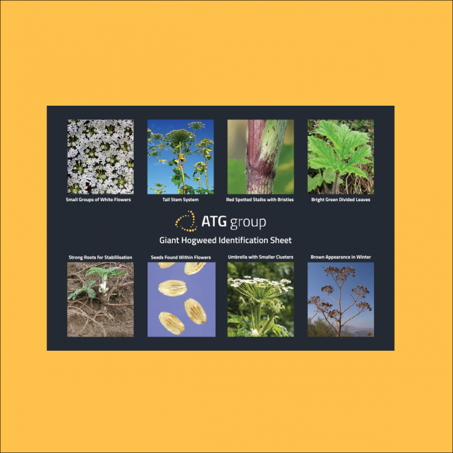 ATG Group Giant Hogweed Identification Guide Preview