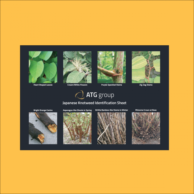 ATG Group Japanese Knotweed Identification Guide Preview