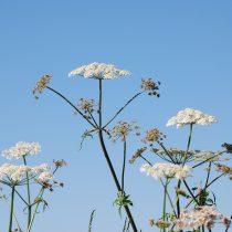 Light Giant Hogweed stems