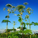 Giant Hogweed in a field