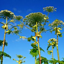 Giant Hogweed from below