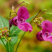 Close up of Himalayan Balsam highlighting the pink leaves