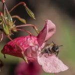 Close up of Himalayan Balsam with a bee laying on the leaves