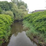Large Japanese Knotweed stances on a river bank