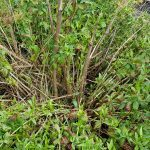 The stems of the Japanese Knotweed