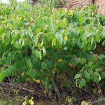 The stance of Japanese Knotweed before treatment