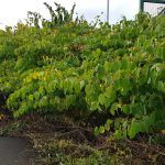 Stance of Japanese Knotweed requiring treatment