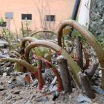 Newly grown Japanese Knotweed shoots