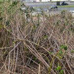 Dead Japanese Knotweed canes, looks like Bamboo