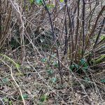Japanese Knotweed protruding from a crown