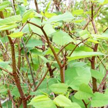 Japanese Knotweed is difficult to remove